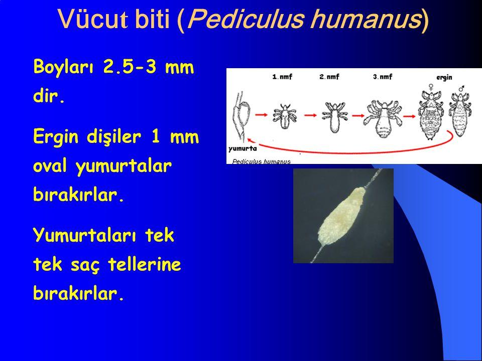 Vücu t biti (Pediculus humanus) Boyları 2.5-3 mm dir. Ergin dişiler 1 mm oval yumurtalar bırakırlar. Yumurtaları tek tek saç tellerine bırakırlar.