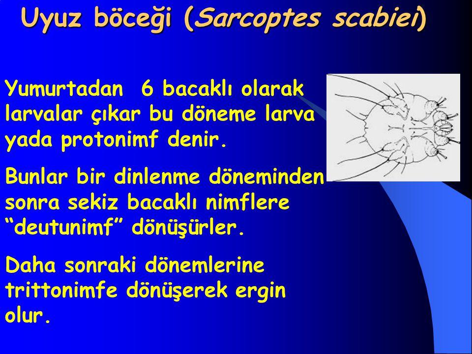 Uyuz böceği (Sarcoptes scabiei) Uyuz böceği (Sarcoptes scabiei) Yumurtadan 6 bacaklı olarak larvalar çıkar bu döneme larva yada protonimf denir. Bunla