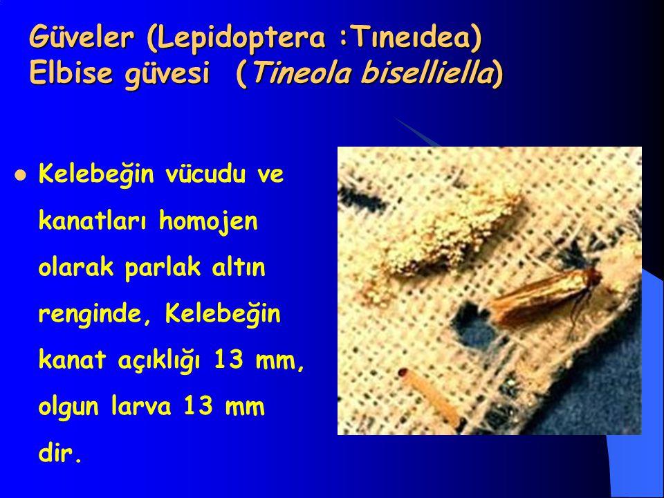 Güveler (Lepidoptera :Tıneıdea) Elbise güvesi (Tineola biselliella) Kelebeğin vücudu ve kanatları homojen olarak parlak altın renginde, Kelebeğin kanat açıklığı 13 mm, olgun larva 13 mm dir.