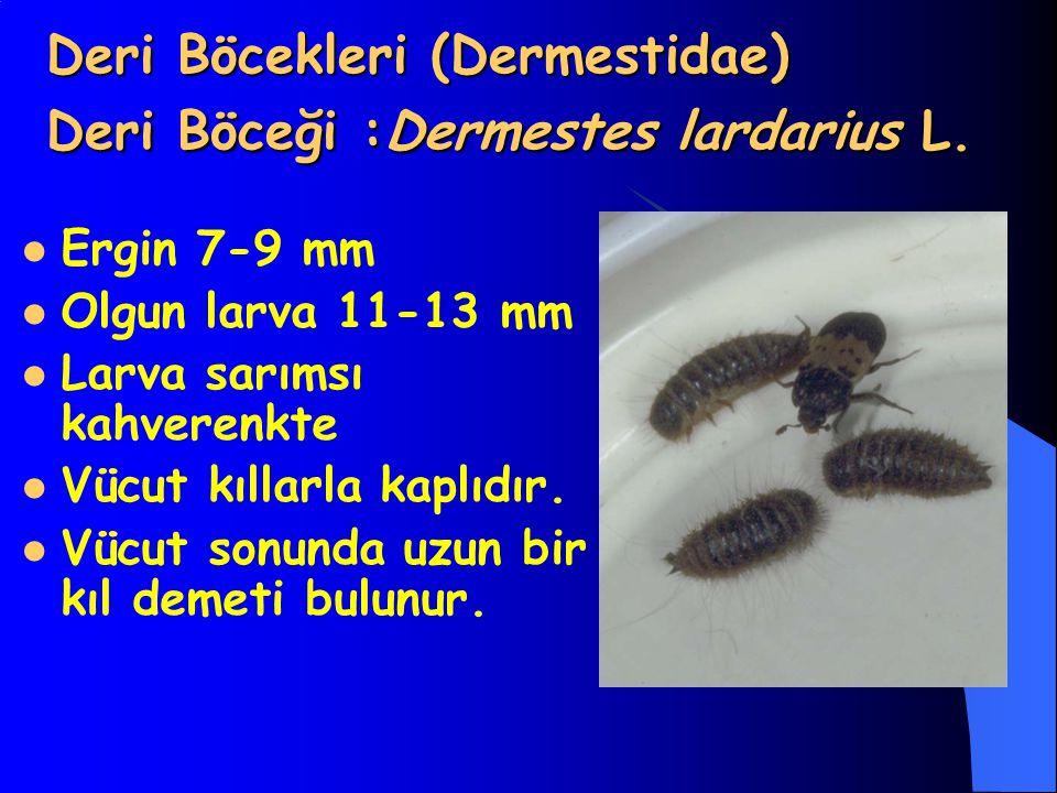 Deri Böcekleri (Dermestidae) Deri Böceği :Dermestes lardarius L. Ergin 7-9 mm Olgun larva 11-13 mm Larva sarımsı kahverenkte Vücut kıllarla kaplıdır.