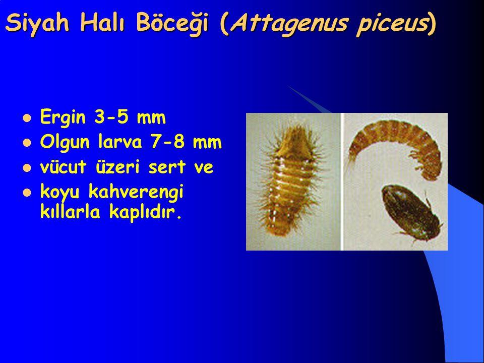 Siyah Halı Böceği (Attagenus piceus) Ergin 3-5 mm Olgun larva 7-8 mm vücut üzeri sert ve koyu kahverengi kıllarla kaplıdır.