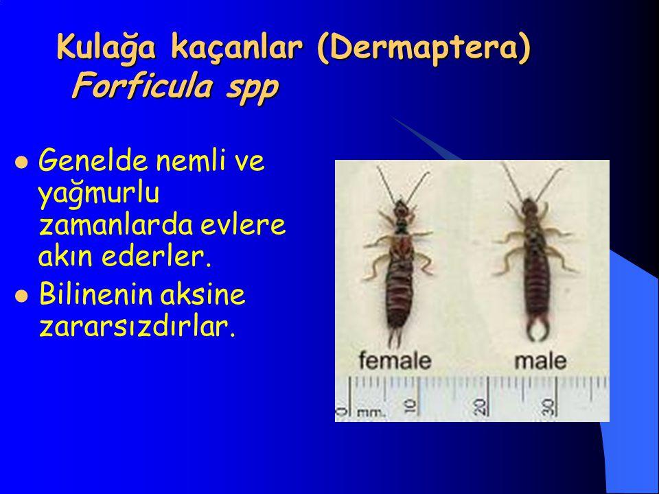 Kulağa kaçanlar (Dermaptera) Forficula spp Genelde nemli ve yağmurlu zamanlarda evlere akın ederler. Bilinenin aksine zararsızdırlar.