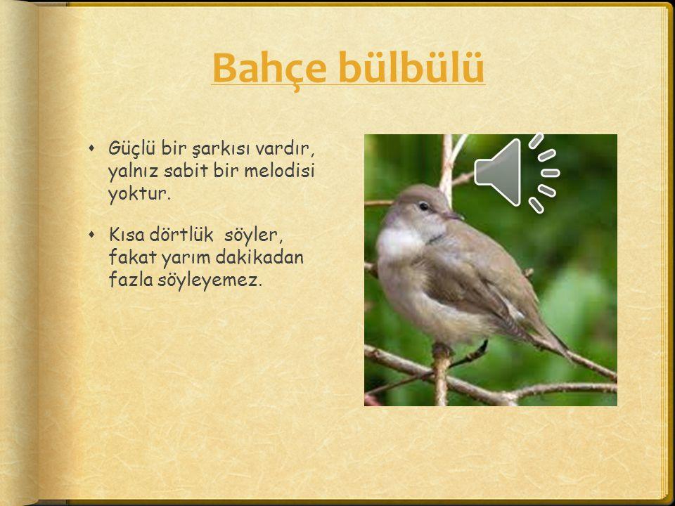 İspinoz  Dörtlükleri tanımak kolaydır. Kuş sesleri güçlüdür ve bir kıvrıkla aniden biter.
