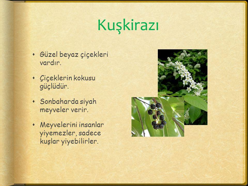 Kuşkirazı  Güzel beyaz çiçekleri vardır.  Çiçeklerin kokusu güçlüdür.  Sonbaharda siyah meyveler verir.  Meyvelerini insanlar yiyemezler, sadece k
