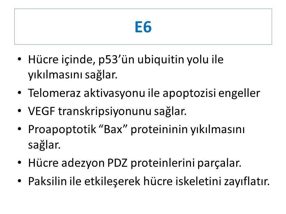 E6 Hücre içinde, p53'ün ubiquitin yolu ile yıkılmasını sağlar. Telomeraz aktivasyonu ile apoptozisi engeller VEGF transkripsiyonunu sağlar. Proapoptot