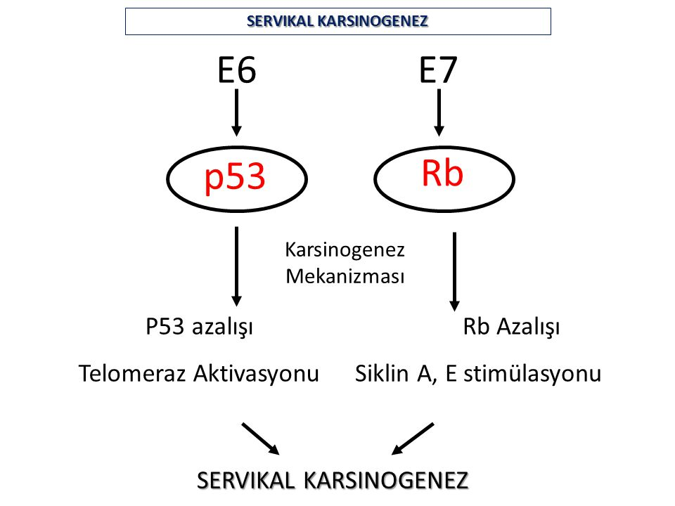 E6E7 p53 Rb Karsinogenez Mekanizması P53 azalışı Telomeraz Aktivasyonu Rb Azalışı Siklin A, E stimülasyonu SERVIKAL KARSINOGENEZ