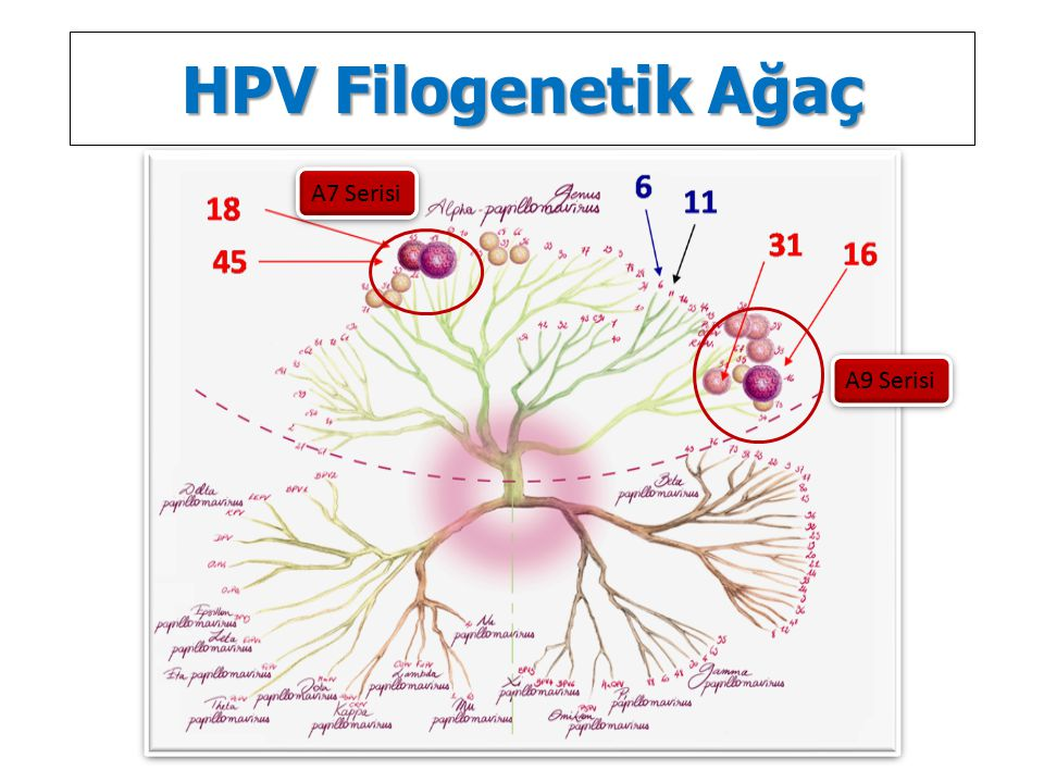 HPV Filogenetik Ağaç A9 Serisi A7 Serisi