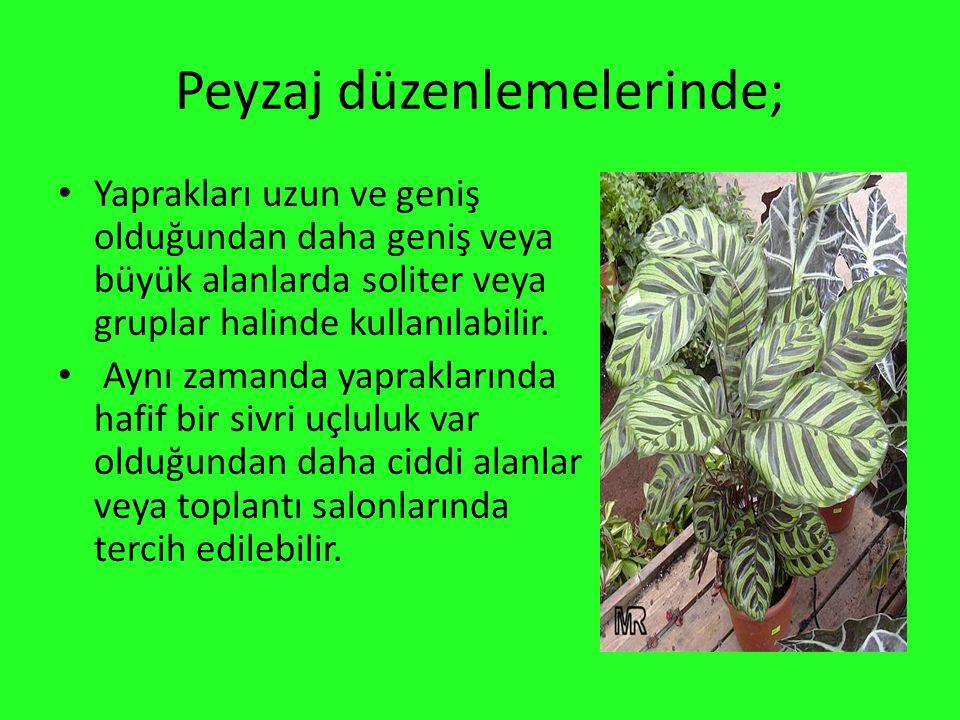 Peyzaj düzenlemelerinde; Yaprakları uzun ve geniş olduğundan daha geniş veya büyük alanlarda soliter veya gruplar halinde kullanılabilir. Aynı zamanda