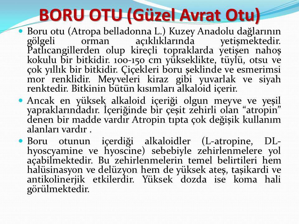 BORU OTU (Güzel Avrat Otu) Boru otu (Atropa belladonna L.) Kuzey Anadolu dağlarının gölgeli orman açıklıklarında yetişmektedir. Patlıcangillerden olup