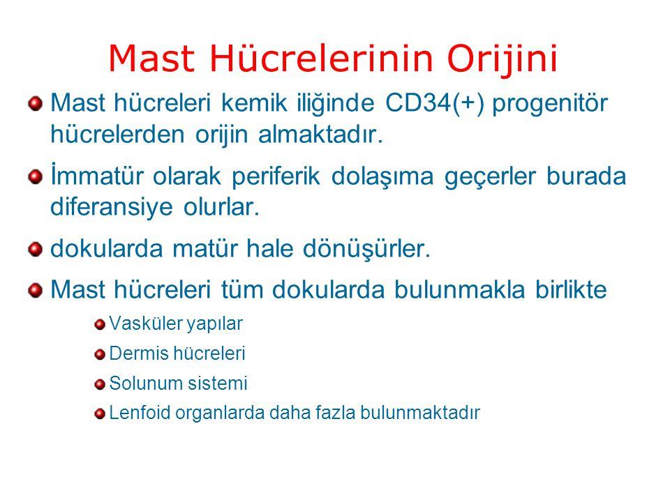 Mast Hücrelerinin Orijini Mast hücreleri kemik iliğinde CD34(+) progenitör hücrelerden orijin almaktadır.