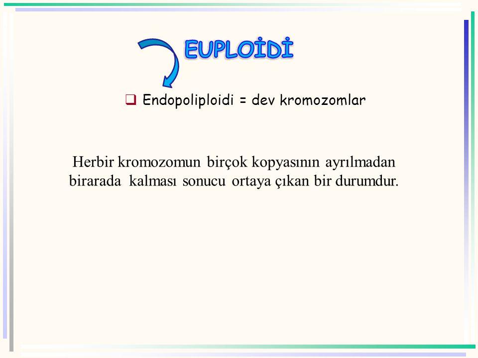 Tüm kromozom setinde artış söz konusudur. 2n+n=3n (triploit) 3n+n=4n (tetraploid)gibi