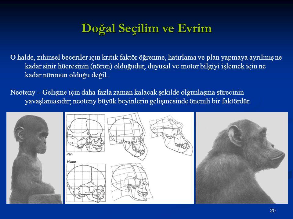 20 Doğal Seçilim ve Evrim O halde, zihinsel beceriler için kritik faktör öğrenme, hatırlama ve plan yapmaya ayrılmış ne kadar sinir hücresinin (nöron) olduğudur, duyusal ve motor bilgiyi işlemek için ne kadar nöronun olduğu değil.