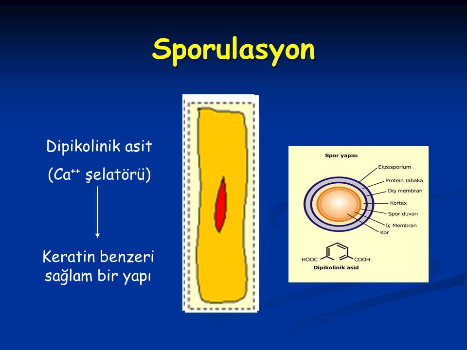 Sporulasyon Dipikolinik asit (Ca ++ şelatörü) Keratin benzeri sağlam bir yapı