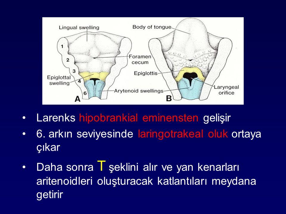 Larenks hipobrankial eminensten gelişir 6. arkın seviyesinde laringotrakeal oluk ortaya çıkar Daha sonra T şeklini alır ve yan kenarları aritenoidleri