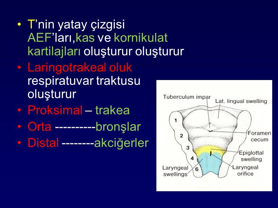 T'nin yatay çizgisi AEF'ları,kas ve kornikulat kartilajları oluşturur oluşturur Laringotrakeal oluk respiratuvar traktusu oluşturur Proksimal – trakea