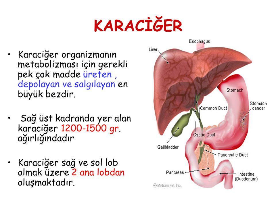 KARACİĞER Karaciğer organizmanın metabolizması için gerekli pek çok madde üreten, depolayan ve salgılayan en büyük bezdir. Sağ üst kadranda yer alan k