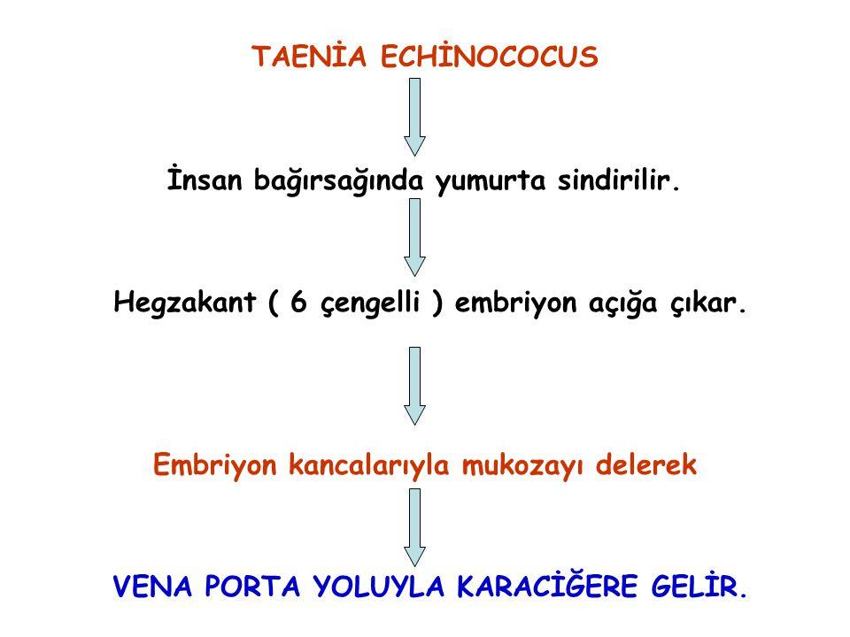 TAENİA ECHİNOCOCUS İnsan bağırsağında yumurta sindirilir. Hegzakant ( 6 çengelli ) embriyon açığa çıkar. Embriyon kancalarıyla mukozayı delerek VENA P
