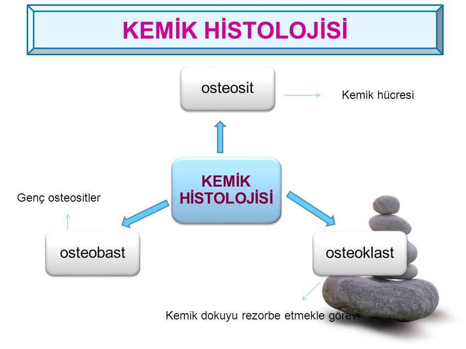 KEMİK HİSTOLOJİSİ osteosit osteoklast osteobast Kemik hücresi Genç osteositler Kemik dokuyu rezorbe etmekle görevi KEMİK HİSTOLOJİSİ