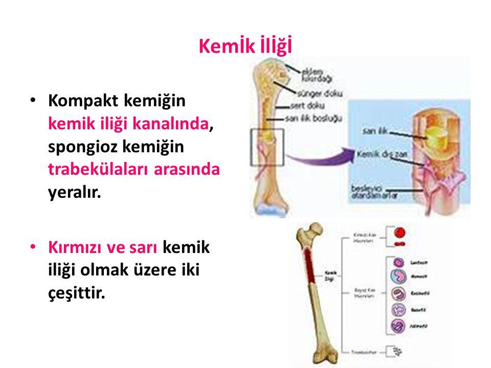 Kemİk İlİğİ Kompakt kemiğin kemik iliği kanalında, spongioz kemiğin trabekülaları arasında yeralır. Kırmızı ve sarı kemik iliği olmak üzere iki çeşitt