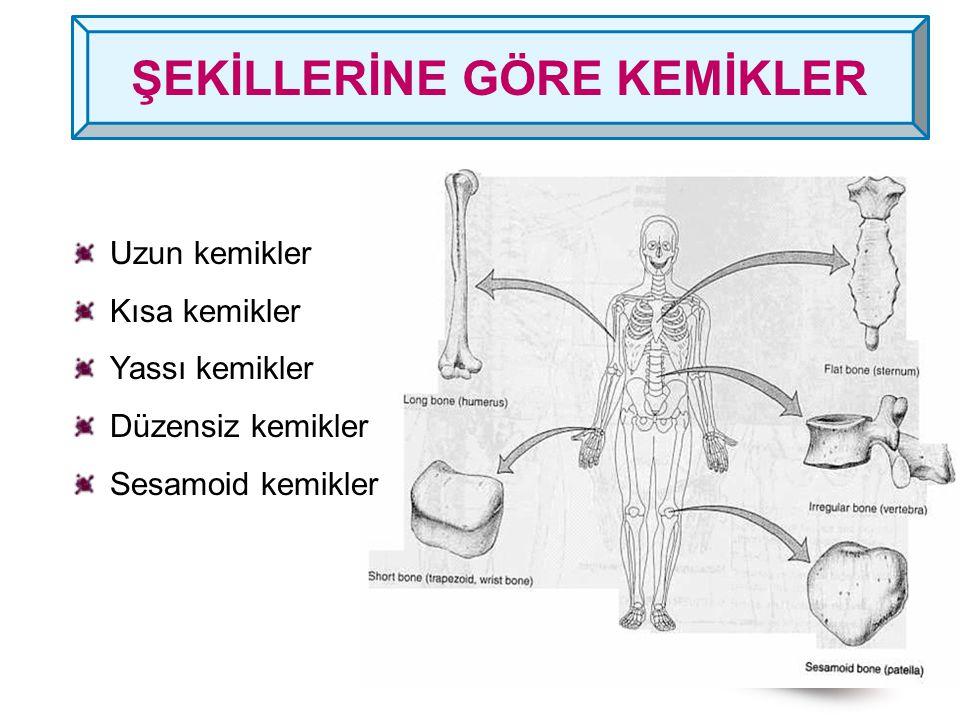 Uzun kemikler Kısa kemikler Yassı kemikler Düzensiz kemikler Sesamoid kemikler ŞEKİLLERİNE GÖRE KEMİKLER