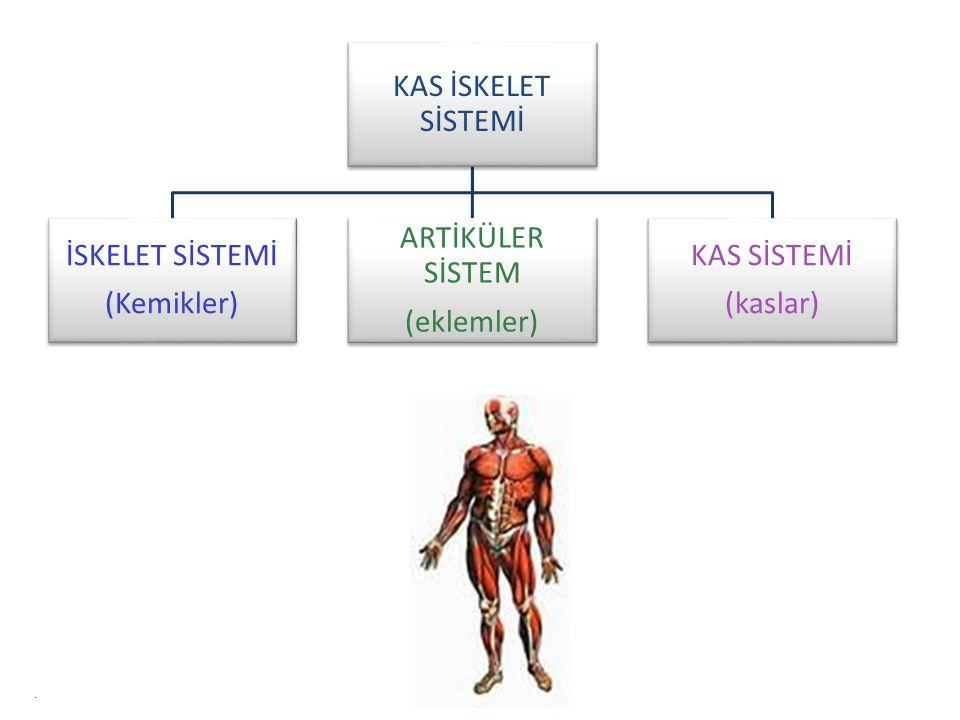 KAS İSKELET SİSTEMİ İSKELET SİSTEMİ (Kemikler) ARTİKÜLER SİSTEM (eklemler) KAS SİSTEMİ (kaslar).