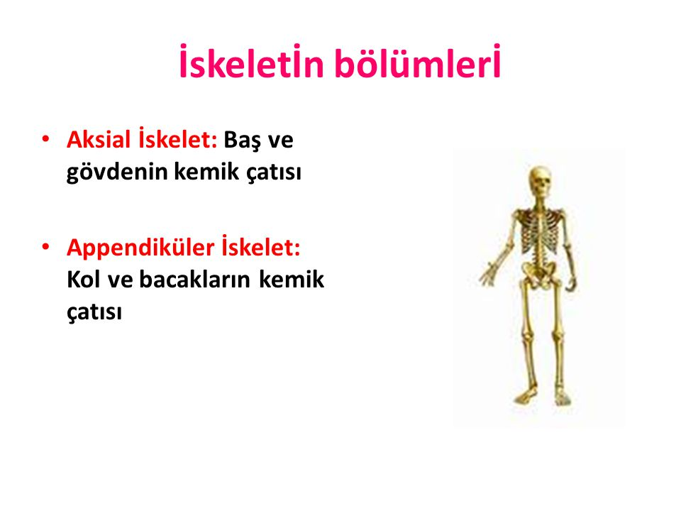 KISA KEMİKLER Spongioz kemik dokusundan yapılmış kemiklerdir.