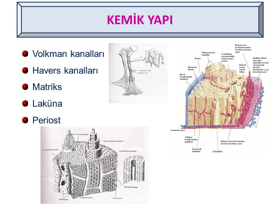 Volkman kanalları Havers kanalları Matriks Laküna Periost KEMİK YAPI