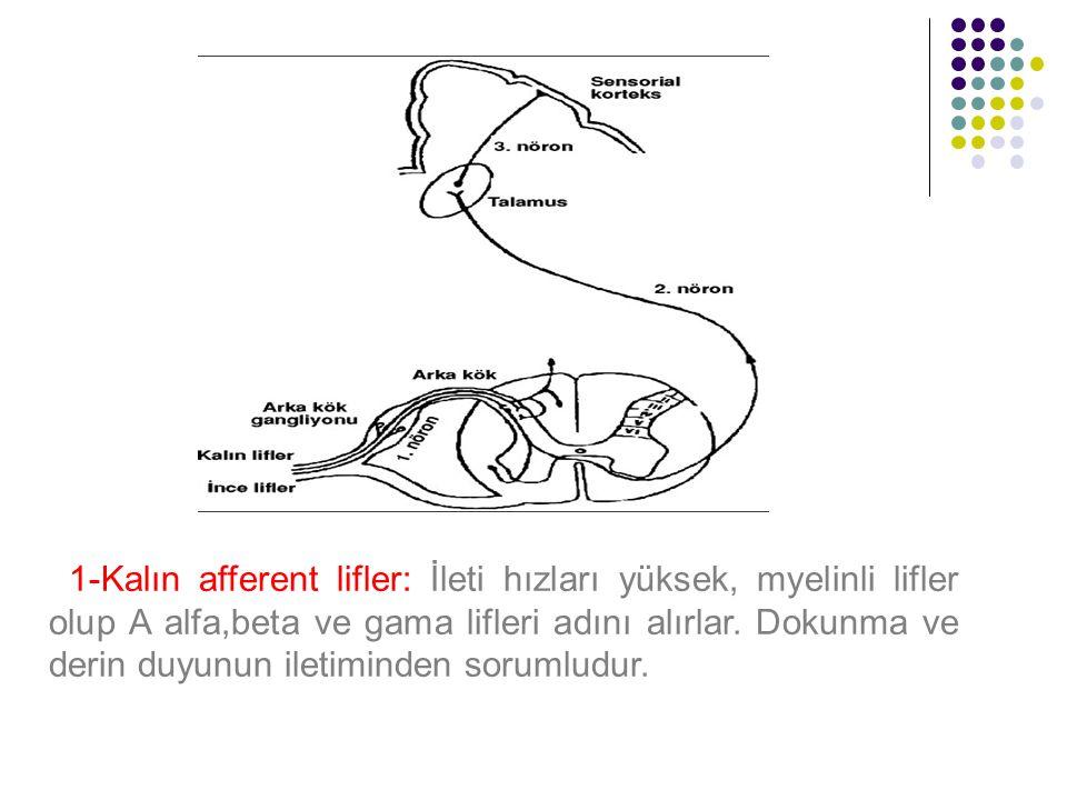 1-Kalın afferent lifler: İleti hızları yüksek, myelinli lifler olup A alfa,beta ve gama lifleri adını alırlar. Dokunma ve derin duyunun iletiminden so