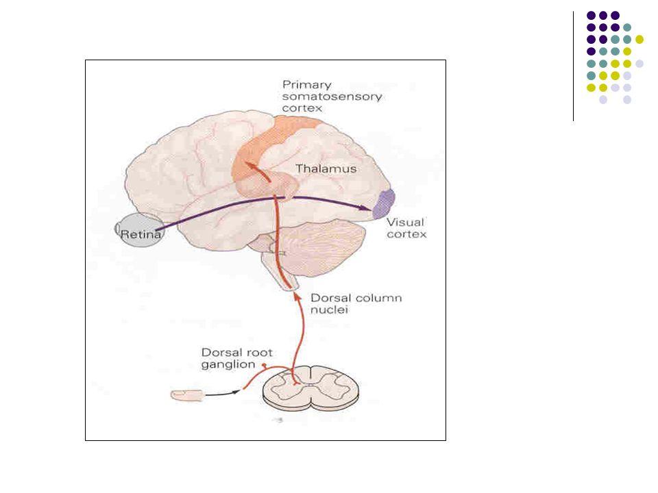 Ağrı, Sempatik Sinir Sistemi Aktivitesini Arttırır:  ADH  Epinefrin  Aldesteron  Kortizol düzeylerini yükseltilir.