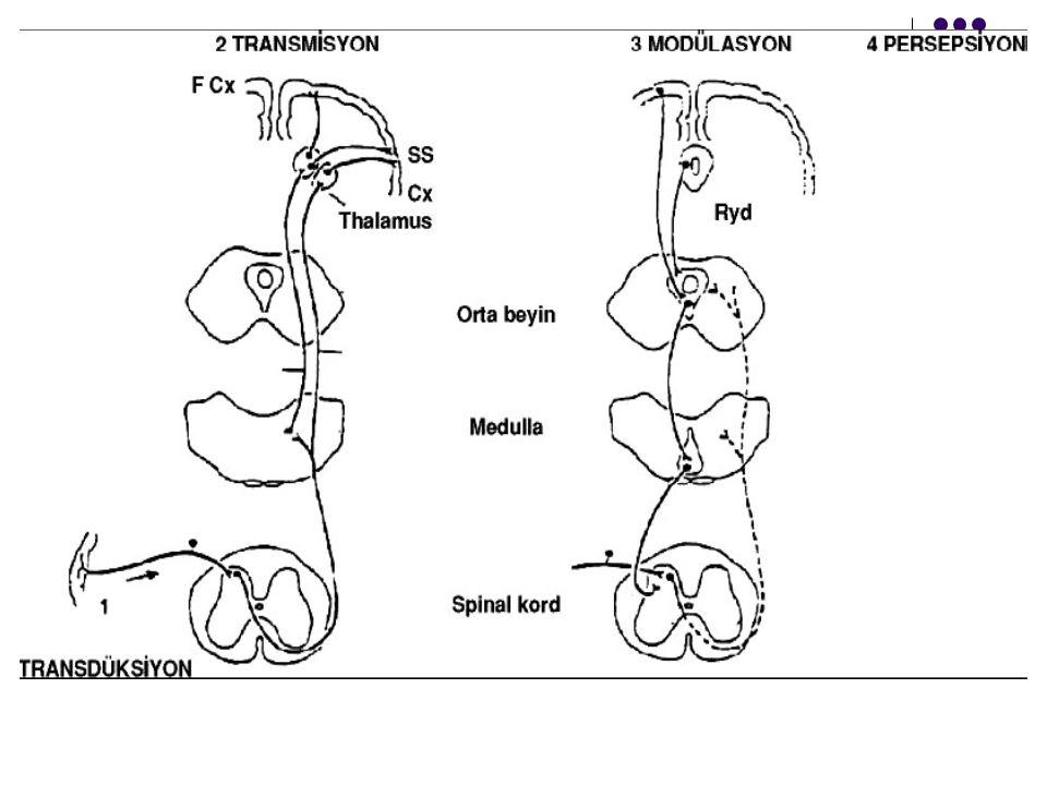  Ağrı gastrointestinal sek.artırır, intestinal tonüsü azaltır, gastrik boşalma yavaşlar.