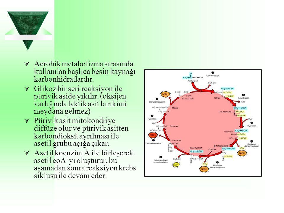 Aerobik metabolizma sırasında kullanılan başlıca besin kaynağı karbonhidratlardır.  Glikoz bir seri reaksiyon ile pürivik aside yıkılır. (oksijen v