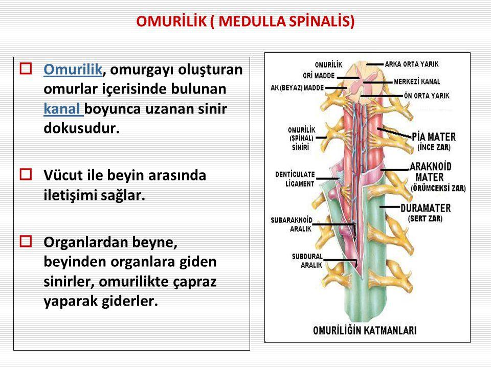 OMURİLİK ( MEDULLA SPİNALİS)  Omurilik, omurgayı oluşturan omurlar içerisinde bulunan kanal boyunca uzanan sinir dokusudur.