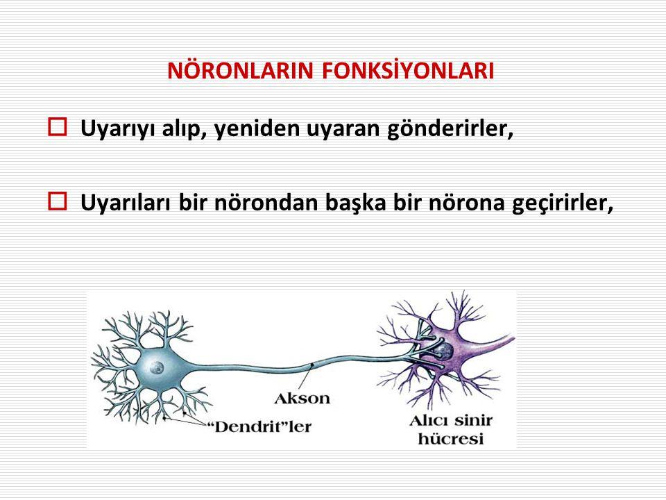 NÖRONLARIN FONKSİYONLARI  Uyarıyı alıp, yeniden uyaran gönderirler,  Uyarıları bir nörondan başka bir nörona geçirirler,