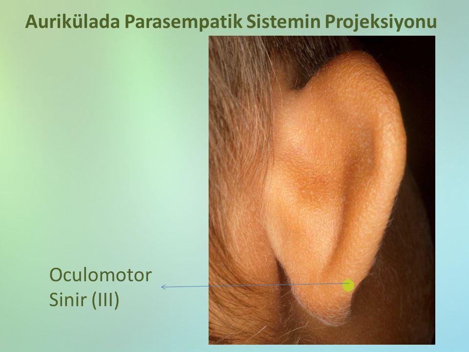 Oculomotor Sinir (III) Aurikülada Parasempatik Sistemin Projeksiyonu