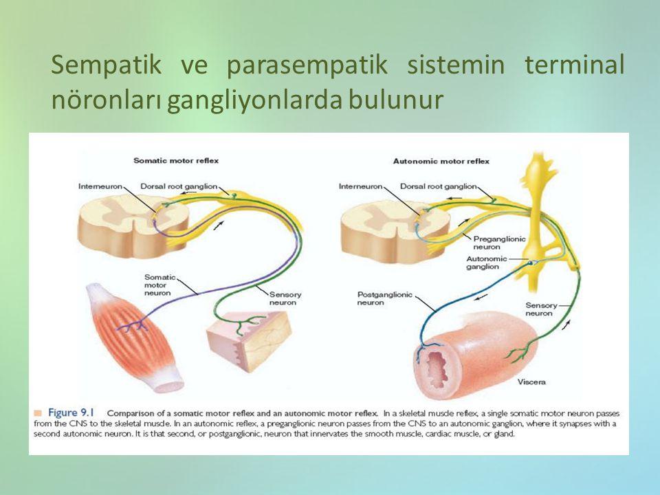 Sempatik ve parasempatik sistemin terminal nöronları gangliyonlarda bulunur