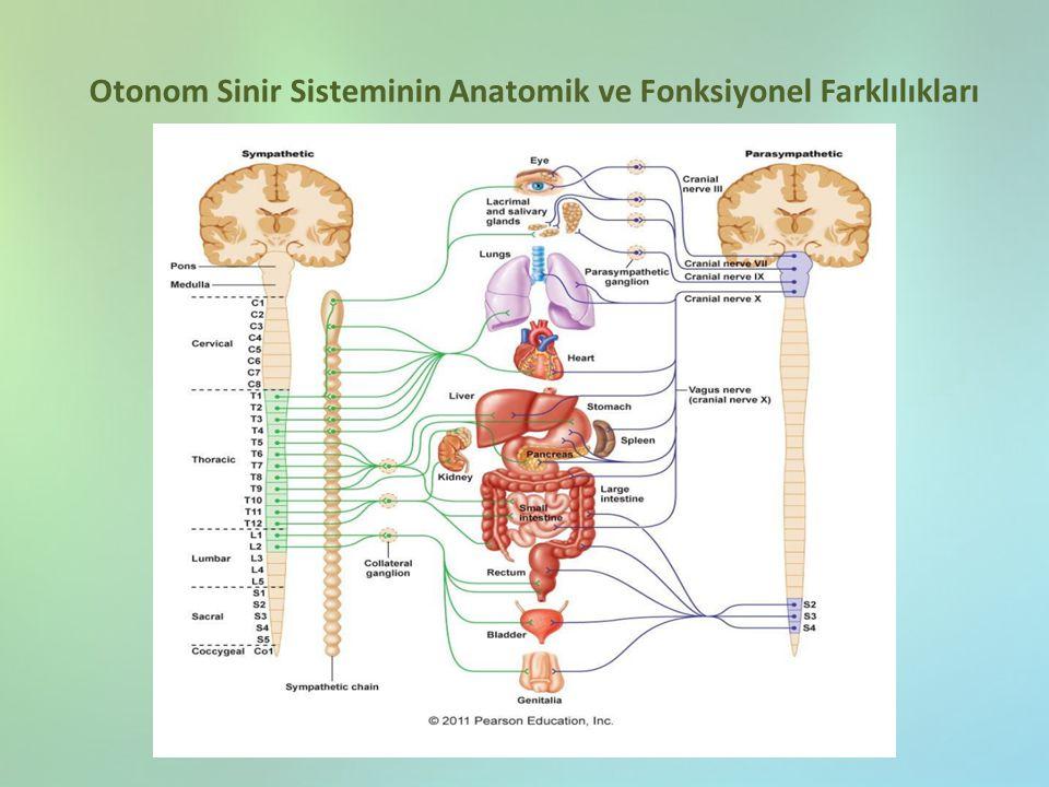Otonom Sinir Sisteminin Anatomik ve Fonksiyonel Farklılıkları