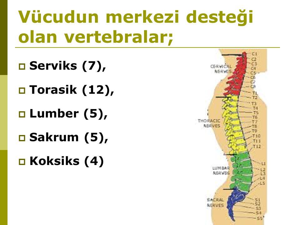 Vücudun merkezi desteği olan vertebralar;  Serviks (7),  Torasik (12),  Lumber (5),  Sakrum (5),  Koksiks (4)