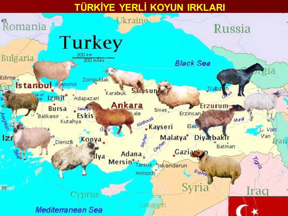 Türkgeldi Koyunu Tahirova (%75) x Kıvırcık (%25) Kuzu verimi : 1.33-1.52 Kuzu verimi : 1.33-1.52 Canlı ağırlık (koyun): 40-50 kg Canlı ağırlık (koyun): 40-50 kg Canlı ağırlık(koç): 70-80 kg Canlı ağırlık(koç): 70-80 kg Günlük canlı ağırlık kazancı(beside) : 324-405 g Günlük canlı ağırlık kazancı(beside) : 324-405 g Yemden yararlanma : 4.01-4.64 Yemden yararlanma : 4.01-4.64 Laktasyon süt verimi : 150-180 kg Laktasyon süt verimi : 150-180 kg Laktasyon süresi : 142.4-179.8 gün Laktasyon süresi : 142.4-179.8 gün Yapağı verimi : 2.5-3.0 kg Yapağı verimi : 2.5-3.0 kg