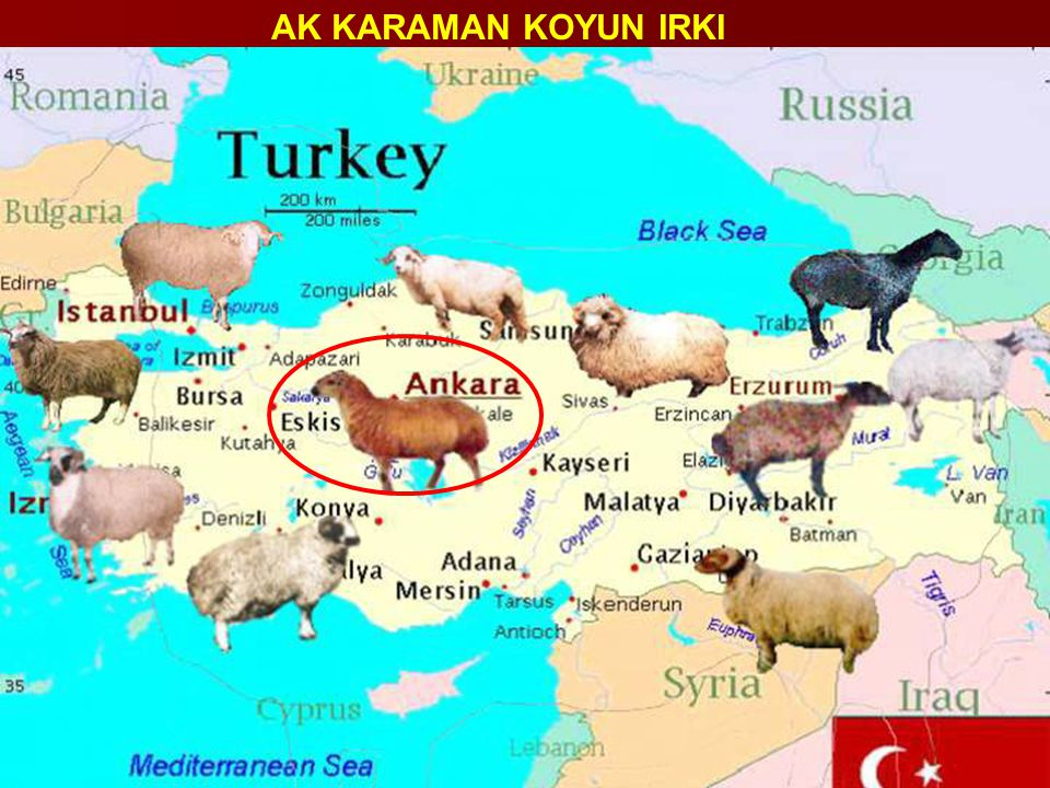 Irkın Adı Chios Irkın Bölgesel İsmi Sakız Irkın Orjini Sakız Adası Yetiştirilme Yönü Kombine 1)et 2)yapağı 3)süt Bulunduğu Bölge İzmir, Kuzey Anadolu Özellik Uzun ince kuyruklu Renk Vücut beyaz, baş ve ayaklarda siyah benekler BoynuzGenellikle koçlar spiral güçlü boynuzlu, koyunlar boynuzsuz Türkiye'deki Dağılımı (%) 0.02(%) Cidago( ♀, ♂ cm) ♂ =76-81 cm ♀ = 70-76 cm Canlı Ağırlık ( ♀, ♂ kg) ♂ =50 - 60 kg ♀ = 35 – 40 kg Laktasyon Uzunluğu 160 – 180 gün Doğum Ağırlığı - Yapağı Ağırlığı-'S 1.6 – 2.0 kg 50'S – 56'S İkizlik >70 % Doğum Oranı - Süt (kg) 120 – 180 kg Kuyruk(kg) Uzun ince kuyruklu Diğer Özellikleri Ovalara iyi uyum sağlamıştır SAKIZ (CHIOS)