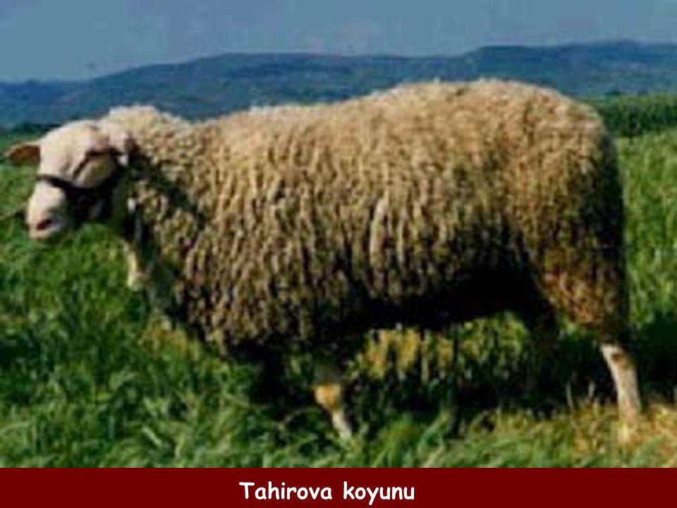 Tahirova koyunu