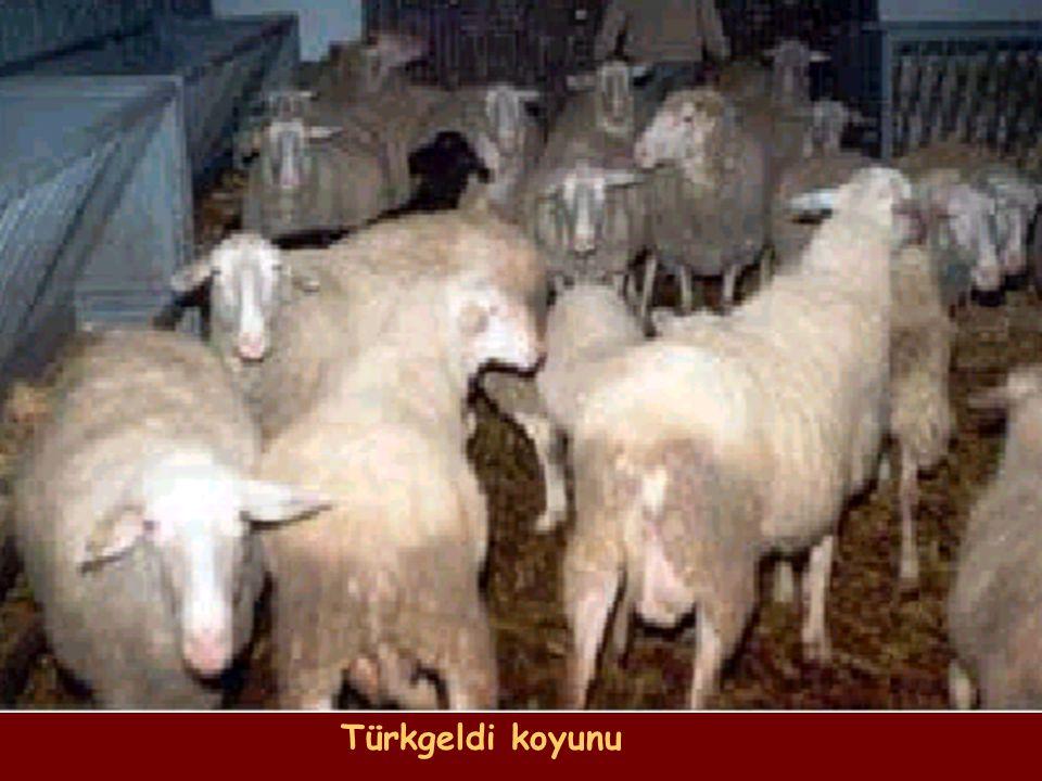 Türkgeldi koyunu