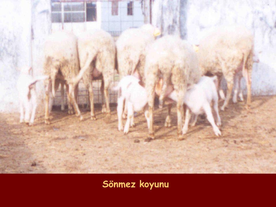 Sönmez koyunu