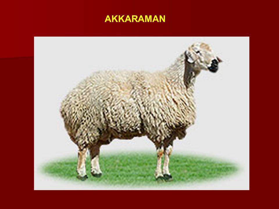 Sönmez Koyunu Tahirova (%75) x Sakız (%25) Kuzu verimi : 1.68 Kuzu verimi : 1.68 Canlı ağırlık(koyun): 60-65 kg Canlı ağırlık(koyun): 60-65 kg Canlı ağırlık (koç): 90-100 kg Canlı ağırlık (koç): 90-100 kg Canlı ağırlık kazancı(beside) : 227.98 g/gün Canlı ağırlık kazancı(beside) : 227.98 g/gün Yemden yararlanma : 4.35 Yemden yararlanma : 4.35 Laktasyon süt verimi : 3 50-400 kg Laktasyon süt verimi : 3 50-400 kg Laktasyon süresi : 214.6 gün Laktasyon süresi : 214.6 gün Yapağı verimi : 2.5-3.0 kg Yapağı verimi : 2.5-3.0 kg