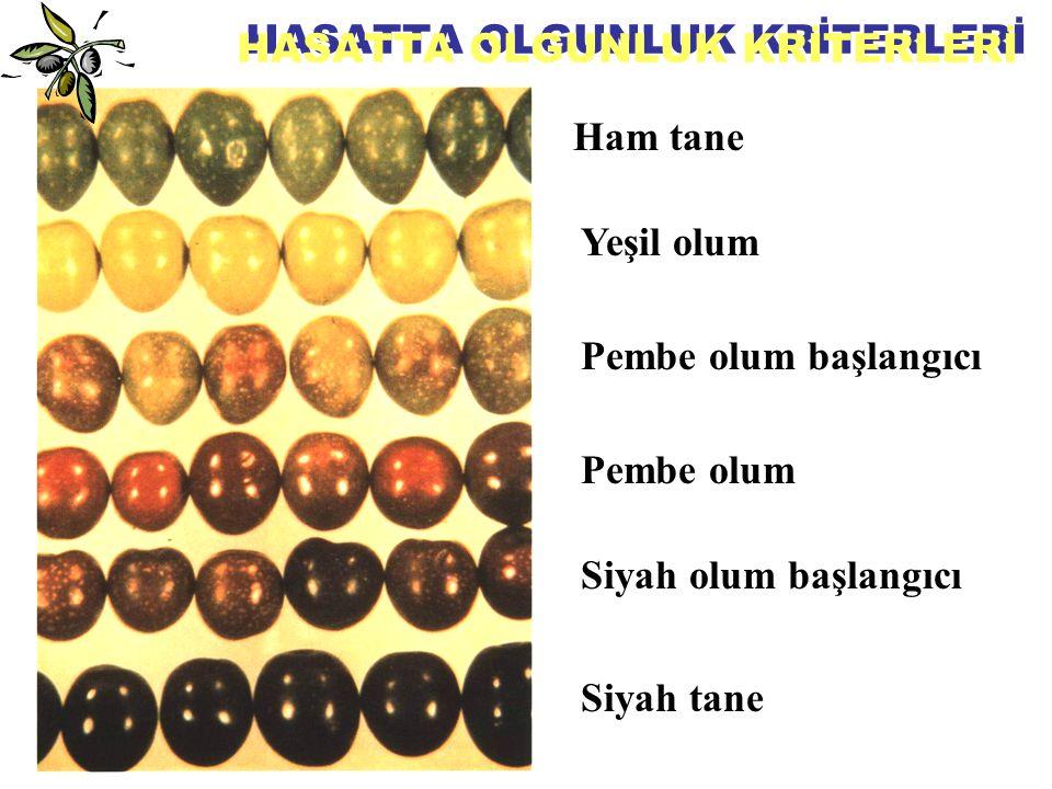 HASAT GELENEKSEL HASAT YÖNTEMLERİ ♣ Yerden toplama ♣ Doğrudan ağaç üzerinden toplama ♣ Sırıkla silkerek toplama