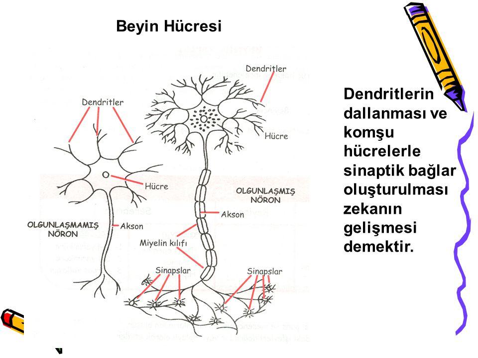 Dendritlerin dallanması ve komşu hücrelerle sinaptik bağlar oluşturulması zekanın gelişmesi demektir. Beyin Hücresi