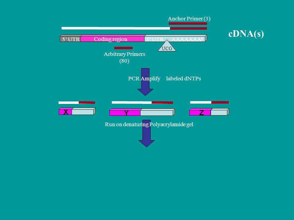 Coding region 5' UTR3' UTR UCG AAAAAAA n PCR Amplify Run on denaturing Polyacrylamide gel cDNA(s) Arbitrary Primers (80) Anchor Primer (3) labeled dNTPs X Y Z