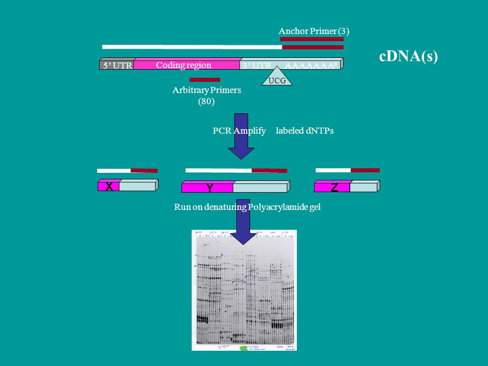 Coding region 5' UTR3' UTR UCG AAAAAAA n PCR Amplify cDNA(s) Arbitrary Primers (80) Anchor Primer (3) labeled dNTPs Run on denaturing Polyacrylamide gel X Y Z