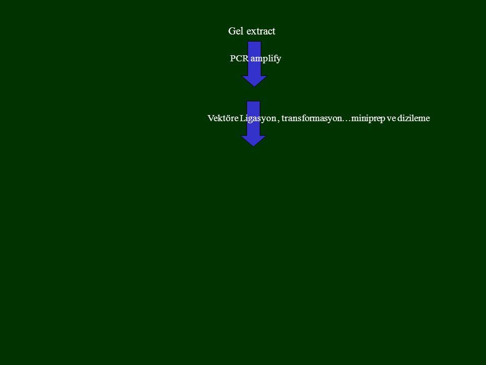 Gel extract PCR amplify Vektöre Ligasyon, transformasyon…miniprep ve dizileme