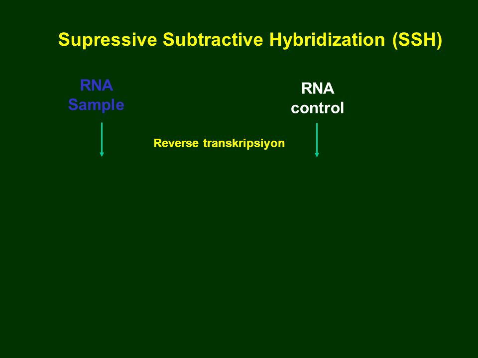 RNA Sample RNA control Reverse transkripsiyon Supressive Subtractive Hybridization (SSH)