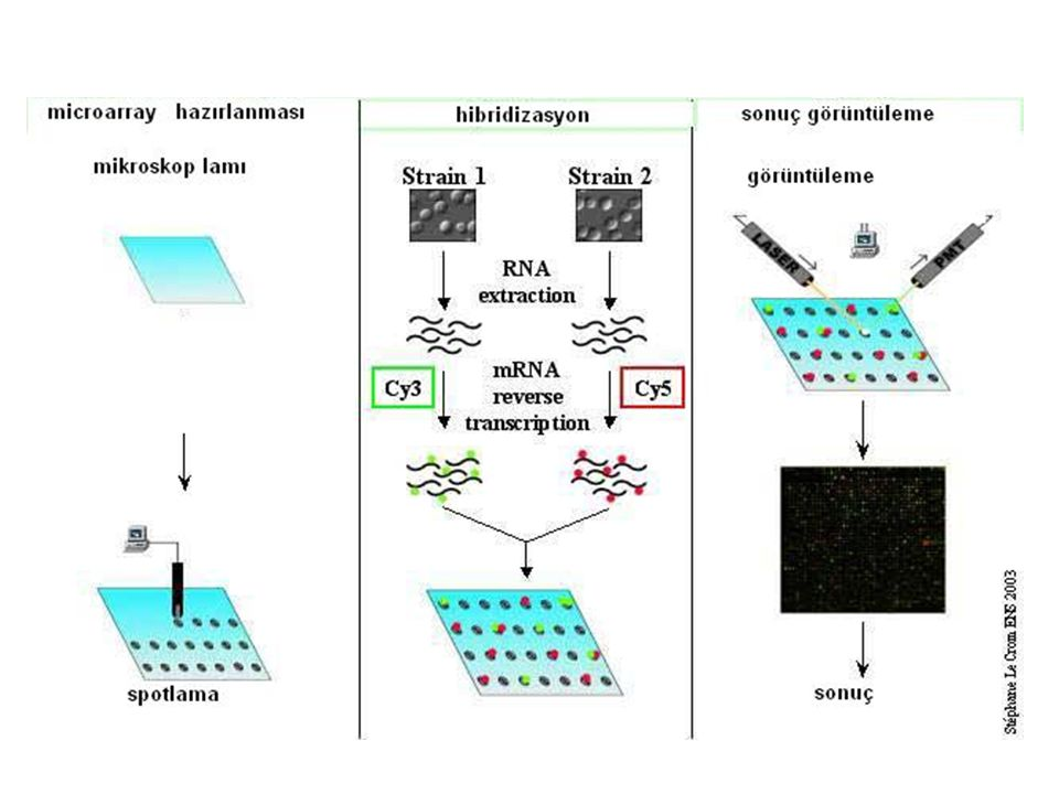 Mikroarray advantage In a short time, genom-wide differences can be observed Disadvantage High cost Not applicable for any organism Chip-based technology
